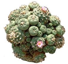 peyote, peyote plant, peyote cluster, mescaline, trippy drugs, trippy plants